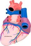 Body.Heart1